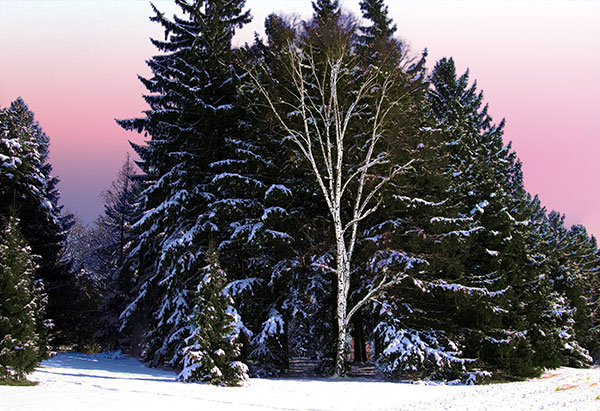 Image of Light Painting Winter Birch